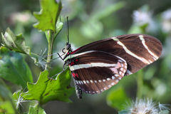 Zebra Longwing Butterfly - 3 Stock Photography