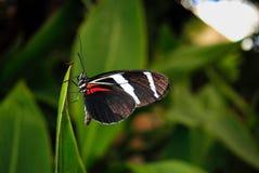 Zebra longwing butterfly. Latin name Heliconius charitonius Royalty Free Stock Photos