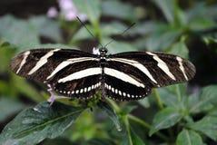 Zebra longwing butterfly. Latin name Heliconius charitonius Royalty Free Stock Image
