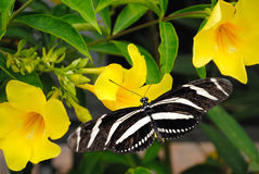 Zebra longwing butterfly Royalty Free Stock Photo