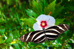 Zebra longwing butterfly. Latin name Heliconius charitonius on a white flower Stock Image