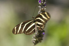 Zebra Longwing butterfly Stock Image
