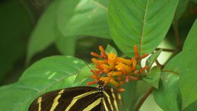 Zebra Longwing Butterfly with a Broken Wing Lands on Flower to Feed, 4K stock footage