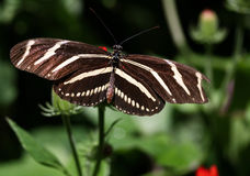 Zebra Longwing Butterfly Royalty Free Stock Images