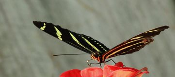 Zebra Longwing butterfly close-up Royalty Free Stock Photo