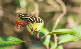 Zebra Longwing Butterfly feeding from flowers Royalty Free Stock Images