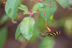 Zebra Longwing Butterfly feeding from flowers Stock Photography