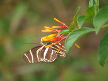 Zebra Longwing Royalty Free Stock Photos