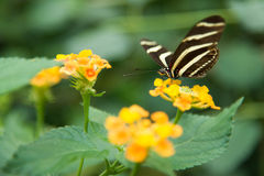 Zebra Longwing Stock Photo