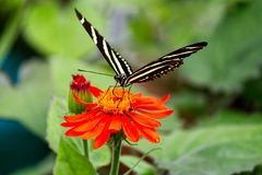 Zebra Longwing butterfly getting the nectar stock images