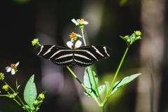 Zebra Longwing Butterfly on Green Leaf Plant Stock Photos