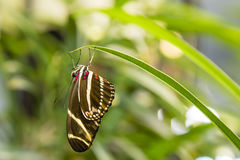 Zebra Longwing Butterfly Hanging from Leaf Royalty Free Stock Photo