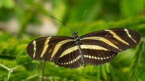 Zebra Longwing butterfly Stock Photography