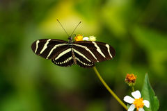 Zebra Longwing butterfly (Heliconius charithonia) Royalty Free Stock Images