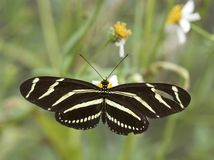 Zebra Longwing Butterfly In Georgia Stock Images