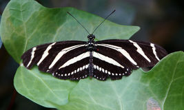 Zebra Longwing Butterfly Stock Images