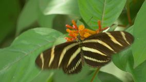 Zebra Longwing Butterfly Lands on Flower and Spreads Wings While Feeding, 4K. A Zebra Longwing Butterfly lands on a flower spreading its wings to the camera stock video footage