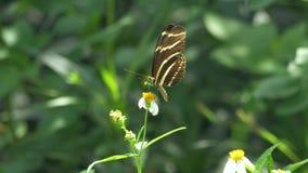 Zebra Longwing Butterfly Lands on White Flower, 4K. A butterfly lands on a flower and feeds showing its wing profile stock footage