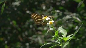 Zebra Longwing Butterfly Lands on White Flower. Butterfly lands on flower and spreads its wings while feeding stock footage