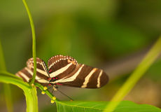 Zebra Longwing Butterfly on the leaf Royalty Free Stock Photos