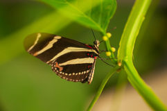 Zebra Longwing Butterfly on the leaf Royalty Free Stock Photo
