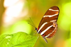 Zebra Longwing butterfly on leaf Stock Photo