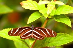 Zebra longwing butterfly on leaf (upper side) Royalty Free Stock Photos