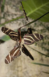 Zebra longwing butterfly mating Stock Image
