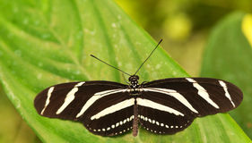 Zebra Longwing Butterfly On The Leaf Stock Images