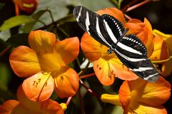 Free Zebra Longwing Butterfly On Tropical Rhododendron Simbu Sunset Flowers Stock Image - 195498171