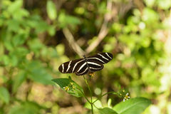 Zebra Longwing Butterfly in a Sub-tropical forest Royalty Free Stock Photography
