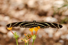 Zebra Longwing butterfy, facing camera, balanced on small yellow flowers. Zebra Longwing butterfly perched on small yellow flowers of a plant in Arizona`s Royalty Free Stock Photography