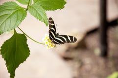 Zebra Longwing (charithonia di Heliconius) Fotografia Stock