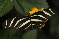 Zebra Longwing. A Zebra Longwing, Heliconius Charitonia, butterfly of the family Nymphalidae royalty free stock image