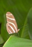 Zebra longwing macro. Heliconius charithonia vazquezae ( zebra longwing) on green leaves Royalty Free Stock Photo