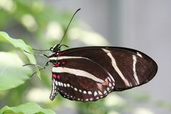 Zebra Longwing macro Royalty Free Stock Photo