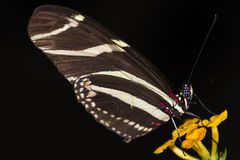 Zebra Longwing. Photo of a Zebra Longwing (Heliconius charitonius) butterfly of the Nymphalidae family stock photos