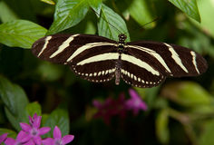Zebra Longwing Royalty Free Stock Images