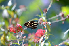 Zebra Longwing-Schmetterling Stockfoto