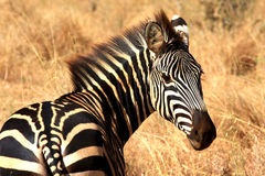 Zebra look Stock Photography