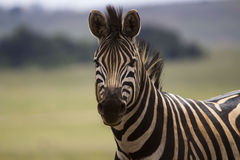 Zebra Looking around Royalty Free Stock Photo