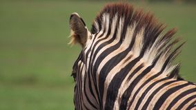 Zebra looking away Stock Images