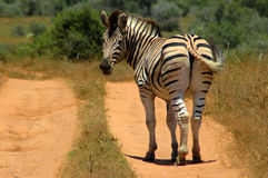 Zebra looking back Stock Photos