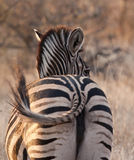 Zebra looking back at dusk Stock Photos