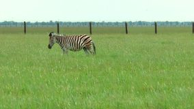 Zebra looking at the camera. One zebra away out of frame. And two zebras walk into frame stock video