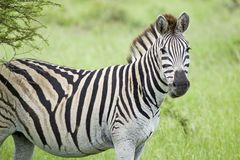 Zebra looking into camera in Umfolozi Game Reserve, South Africa, established in 1897 Stock Photo