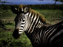 Zebra looking into camera. stock photo