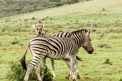 Zebra looking and laughing at the camera stock image