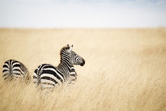 Zebra Looking Out over Grass in Kenya Africa Stock Image