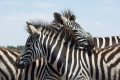Zebra looking over the the back of another Stock Photo
